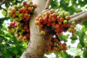 buah tin1